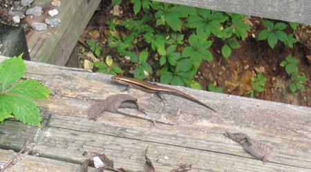 106-lizard